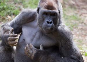 isabela gorilla
