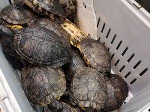 turtles chinatown